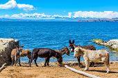 stock photo of andes  - Six donkeys standing on the shore of Lake Titicaca with the Andes mountains in the background as seen on Isla del Sol Bolivia