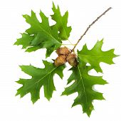 foto of acorn  - Oak branch with leaves and acorns isolated on white background - JPG
