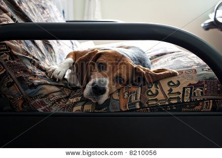 Lazy Beagle Dog Resting