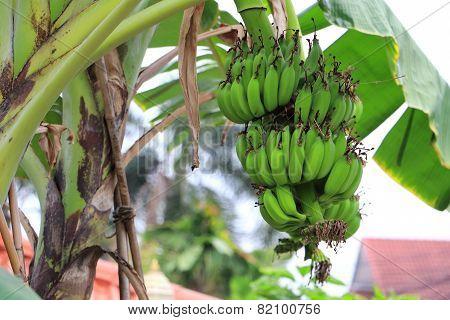 Green banana on a tree