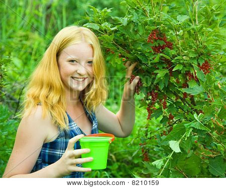 Girl  Is Picking Red Currant