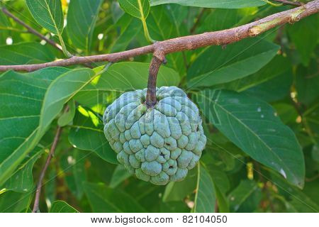 Sugar apples  growing on a tree in garden