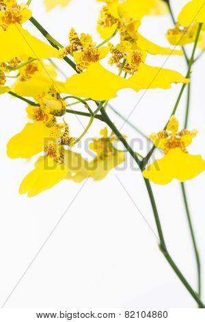 Yellow Oncidium Dancing Lady Orchids