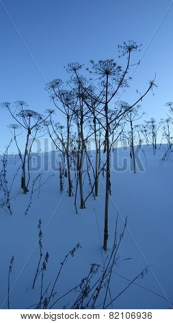 Winter hogweed
