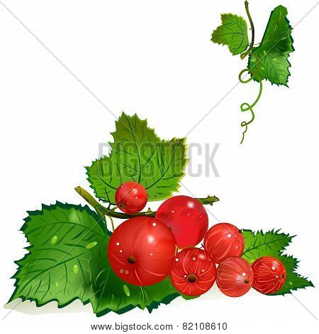 Redcurrants On The Vine