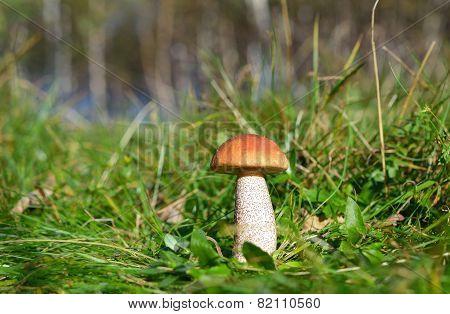 Mushroom (boletus Edulis)