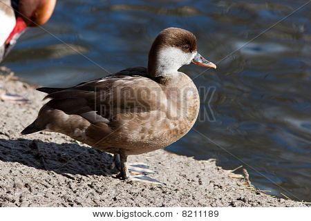 Female. Red-crested Pochard, Netta Rufina