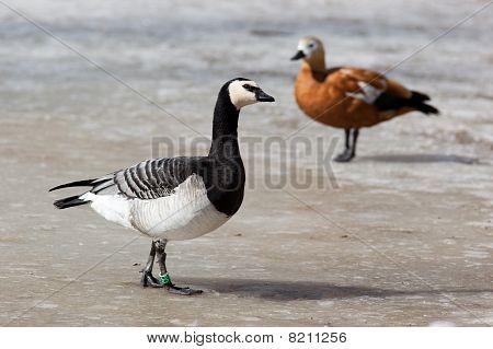 Barnacle Goose, Branta Leucopsis