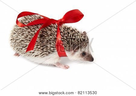 Little hedgehog as funny gift