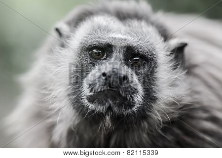 White-footed Tamarin