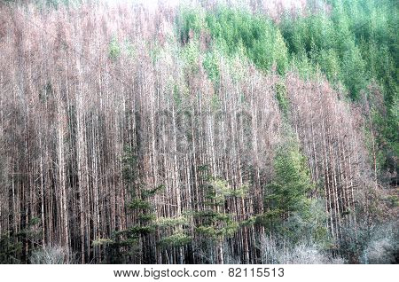 Dead Evergreen Forest