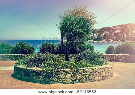Olive Tree Vintage Style In Beautiful Garden At Ocean Coast