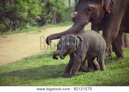 Adult And Two Baby Elephant