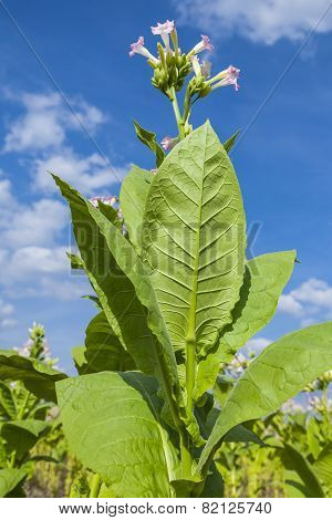 Tobacco plants.