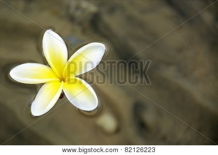 Frangipani Flower Floating on Shallow Water in Early Morning Sunlight