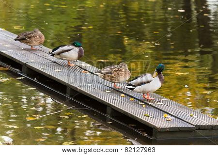 Four Ducks On The Pier In The City Pond