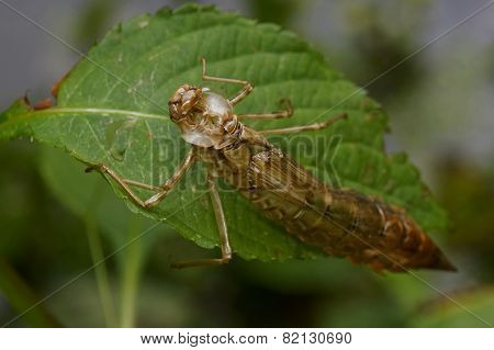 Empty Dragonfly Larva