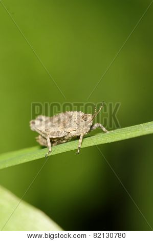 Grasshopper On Grass