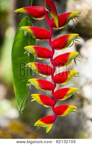 Lobster-claw Flower, Seychelles