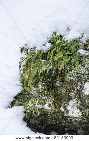 Plant Growing On Rock In Snow