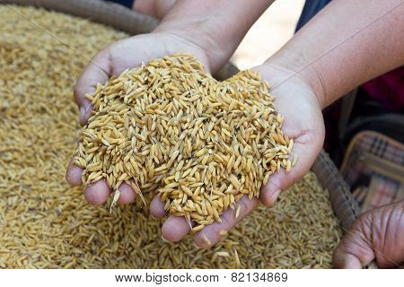 GA BA rice or Germinated brown rice