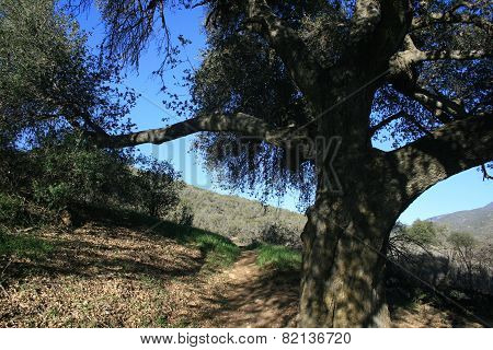 Agua Caliente Oak
