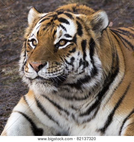 tiger looking up