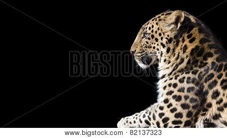 Leopard on black