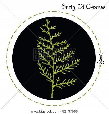 Cypress sprig