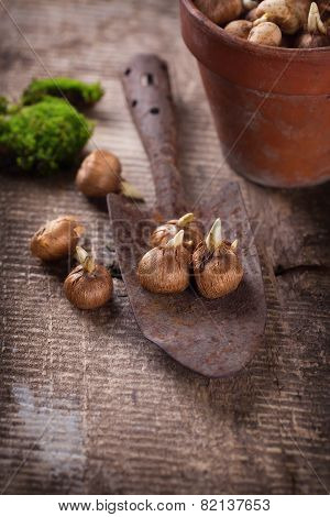 Flower Bulbs, Old Pot And Trowel