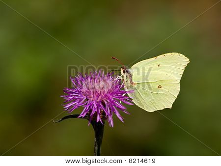 Butterfly on a thistle-flower.