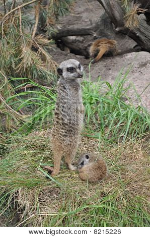 Suricate watch