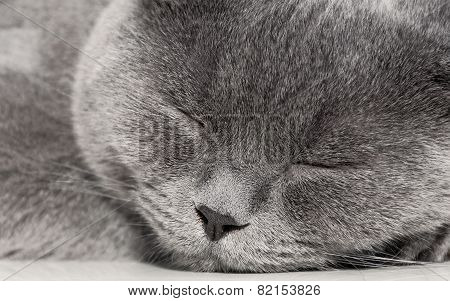 Portrait Of A Sleeping Gray Cat Close Up.