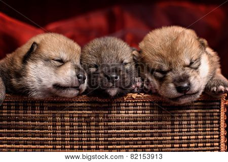 Beautiful Shiba Inu Puppies Lying On A Red Background