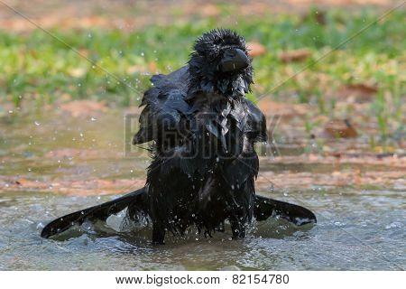 Natural Scene Of Crow Bathing In Feild