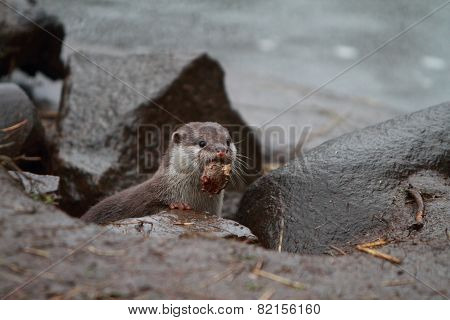 Otter With Prey