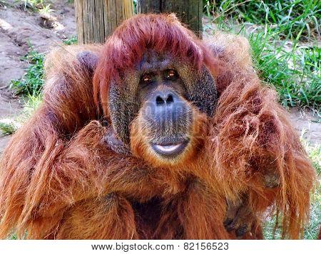 Orangutan  Macro Portrait
