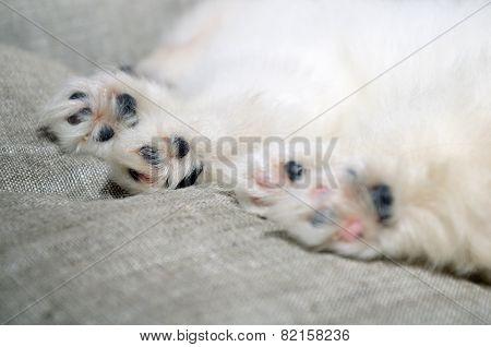 Closeup Paws Of Sleeping Pomeranian Puppy