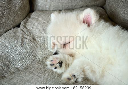 Cute Pomeranian Puppy Sleeping In The Bed