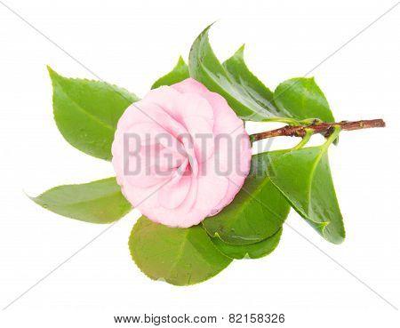 twig of azalea
