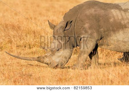 White Rhino In Nakuru Park