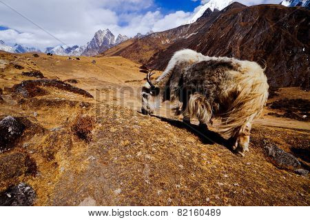 Himalaya Yack