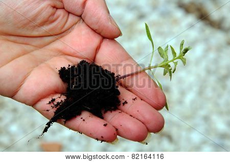 Tomato seedling in hand.