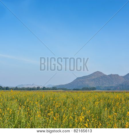 Yellow Rapeseed Field And Blue Sky