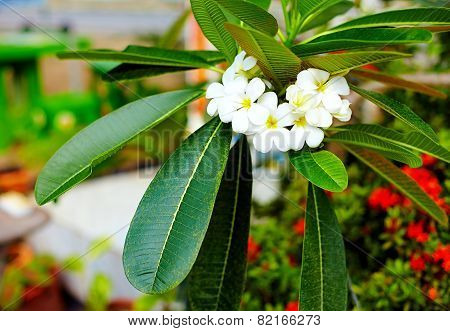 Branch Of Plumeria Flower (frangipani) In Tropical Garden