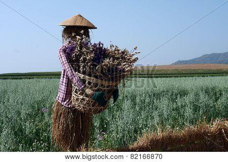 Scarecrow In Green Oat Field