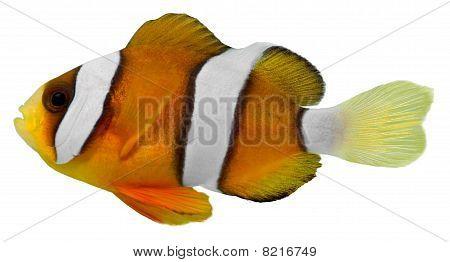 Clark Clown Fish (amphirion Clarkii)