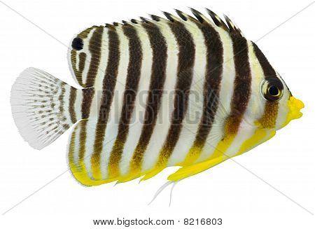 Multibarred Angelfish (centropyge Multifasciatus )