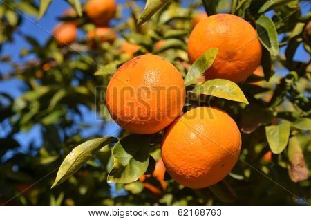Clementine Tree Branch