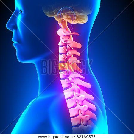 C5 Disc - Cervical Spine